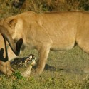 Lions attack Croc