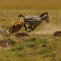 Lion take down Zebra