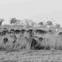 Buffalo at Selinda