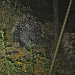 Porcupine at Selinda - June