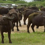 Buffalo-herd-in-front-of-Joubert-plane-at-Duba-airstrip_Duba_2011_BJoubert20111210_0149